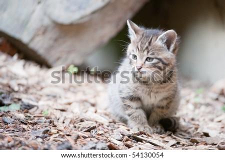 cute wildcat baby (lat. Felis silvestris)
