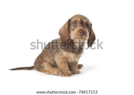 Cute wire-haired dachshund puppy on white background