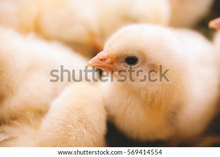 cute yellow Baby chicken in poultry farm