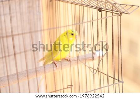 cute yellow budgie australian lutino green light yellow opaline Foto stock ©