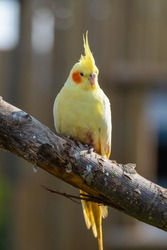 Cute Yellow Cockatiel Perched on a Branch