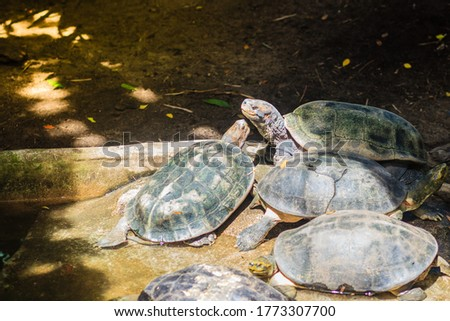 Cute yellow-headed temple turtle (Heosemys annandalii) is a large species of turtle in the family Geoemydidae.