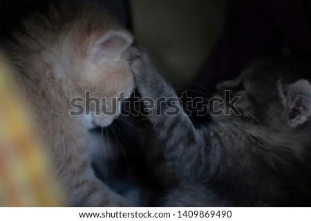 cute yellow kitten and gray kitten playing #1409869490