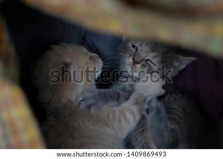 cute yellow kitten and gray kitten playing #1409869493