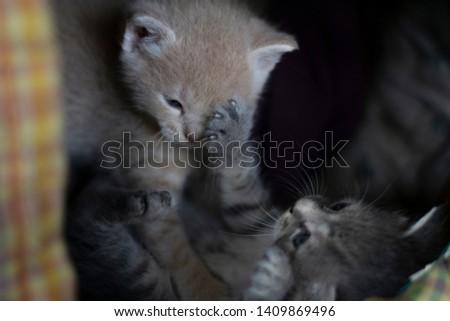 cute yellow kitten and gray kitten playing #1409869496