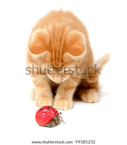 Cute yellow kitten playing with hermit crab on white background