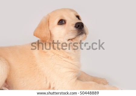 golden retriever mixed breeds. 2010 lab golden retriever mix