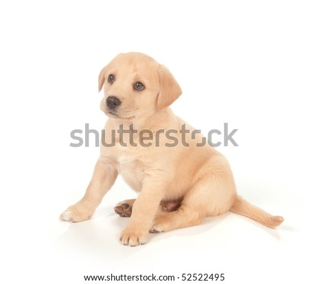 cute yellow labrador puppy. stock photo : Cute yellow