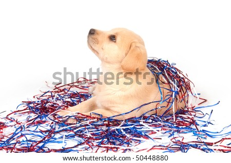 Cute yellow labrador beagle mix puppy with fourth of july decorations on white