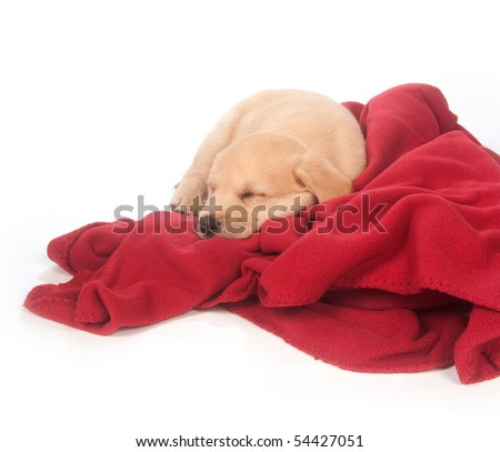 cute yellow mixed breed puppy sleeping on red blanket with white background