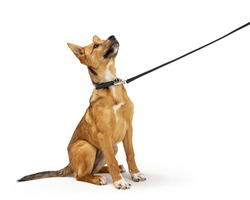 Cute yellow puppy dog being trained too learn to sit down and stay while on a leash