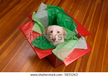 Cute yellow puppy popping out of a gift box isolated over a hardwood floor