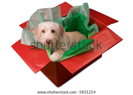 Cute yellow puppy popping out of a gift box isolated over white with a clipping path