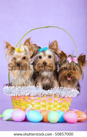 Cute Yorkie puppies in Easter basket with Easter eggs on lilac background
