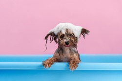 Cute Yorkshire Terrier having bath with foam on head. Smiling dog after bath showing tongue. Pet Grooming concept. Copy space