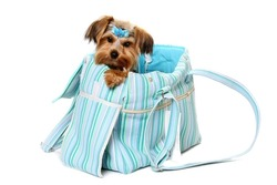 Cute Yorkshire Terrier looking out of designer tote