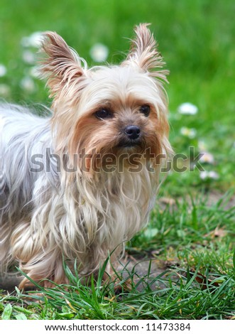 Cute yorkshire terrier outside on walk