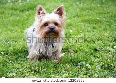 Cute yorkshire terrier outside on walk - stock photo