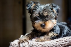 Cute Yorkshire Terrier puppet lying on the fur underlay