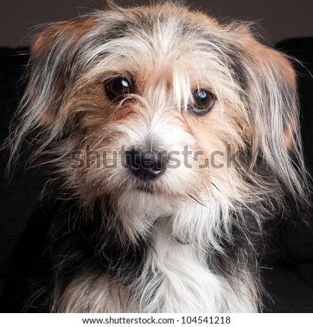 Cute yorkshire terrier puppy #104541218