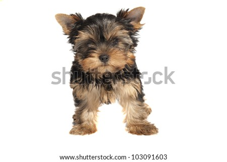 Cute Yorkshire Terrier puppy against white background