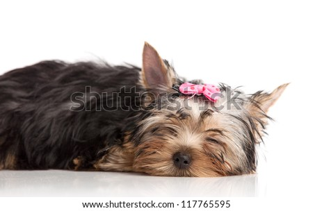 Cute yorkshire terrier puppy asleep, isolated over white