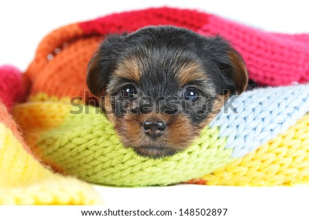 Cute yorkshire terrier puppy portrait inside a scarf closeup isolated on white and looking at camera
