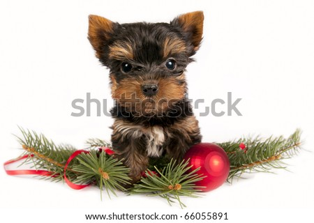 Cute Yorkshire terrier puppy with Christmas ornament on a white background.