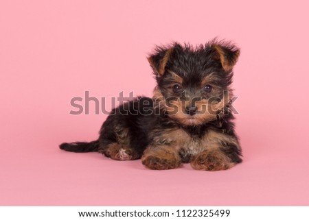 Cute yorkshire terrier, yorkie puppy lying down looking at the camera on a pink background