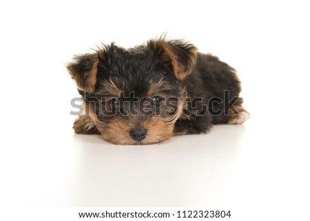 Cute yorkshire terrier, yorkie puppy lying with its head on the floor looking at the camera on a white background