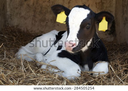 cute young black and white calf lies in straw and looks alert