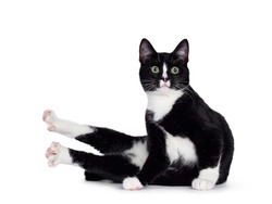 Cute young black and white cat, sitting side ways in weird position. Looking above camera with green eyes. Isolated on white background. Hond paws up like chicken.