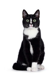 Cute young black and white cat, sitting up. Looking straight to camera with green eyes. Isolated on white background. Tail around body.