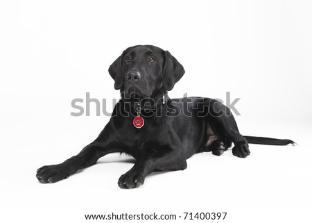 Cute young black dog with collar and dog tag lying