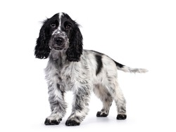 Cute young blue roan Cockerspaniel dog / puppy,  standing side ways. Looking straight at camera with dark brown eyes. Isolated on white background.