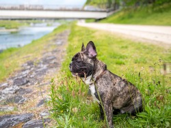 Cute  young brindle French bulldog sitting at the riverside at the park with blur city background , dog outdoor concept