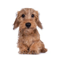 Cute young brown rough coated Dachshund, sitting, looking at camera with friendly eyes. Isolated on white background.