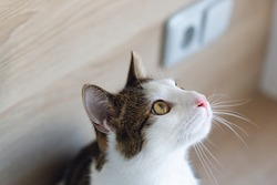Cute young domestic bicolor tabby and white cat sitting on shelf, looking up, side view. Selective focus, copy space