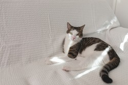 Cute young domestic tabby cat lying on white couch in the sun, looking calm, tired, angry or annoyed. Selective focus, copy space