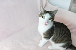 Cute young domestic tabby cat meowing with open mouth, sitting on pink couch, looking at camera. Selective focus, copy space