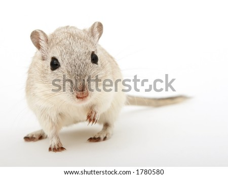Cute young female rodent isolated on white, macro closeup, close-up with copy space