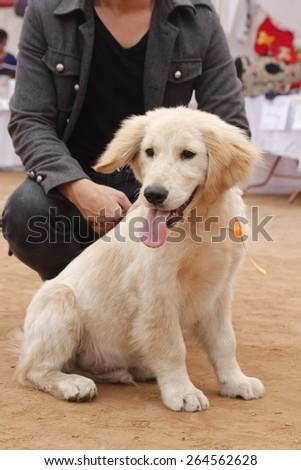 Cute young golden retriever #264562628