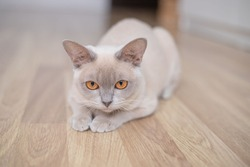 Cute young lilac cat with yellow eyes . Playful beige Burmese kitten playing and hunting indoors.