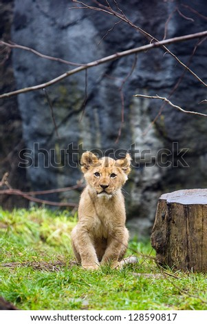 Cute young lion cub sitting down outside
