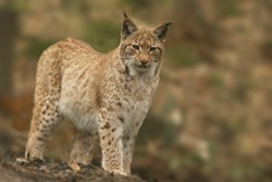 Cute young lynx in the forest. Wildlife scene from Europe. Wild cat in the nature forest habitat.