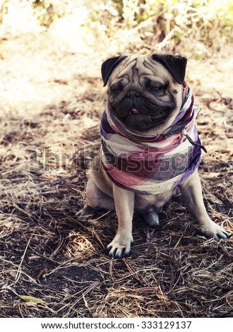 Cute young male pug puppy in bandana sitting outside on sunny day in a shade, fawn pug dog