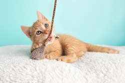 Cute Young Orange Tabby Cat Kitten Rescue Wearing White Flower Bow Tie Lying Down Looking Up Playing and Biting Mouse and String Toy on Blue Background