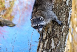 cute young raccoon climbing down the tree trunk near the pond while staring at  you.