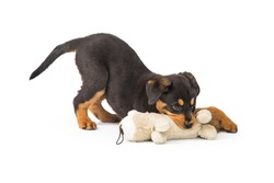 Cute young Rottweiler puppy dog chewing on a stuffed animal toy. Isolated on white.