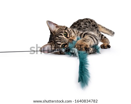 Cute young Savannah F7 cat, Laying side ways. Looking at camera with green / yellow eyes. Isolated on a white background. plying with green fur toy.